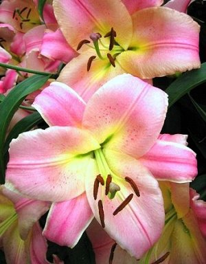 Бейвотч ОТ-Гибрид  Саженцы и рассада лилии от-гибрид Бейвотч (Lilium) обладают нехарактерной для собратьев своей гибридной группы формой цветка и расцветкой. Однотонный розовый окрас выгодно подчеркив