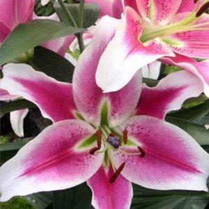 Бон Ши ОТ-Гибрид  Саженцы и рассада Лилии от-гибрид Бон Ши (Lilium ot-gibrid Bon Chi) - растения высотой до 110 см, со стойким, но слабым ароматом. Цветки очень крупные, до 22 см, светло-розовые с ярк
