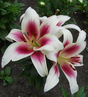 Нимфа ОТ-Гибрид  Луковицы Лилии ОТ-гибрид Нимфа (Lilium OT-hybrid Nymph) понравятся любителям ярких многоцветных и броских растений. Необычность очень крупного цветка, до 22 см в диаметре, заключается