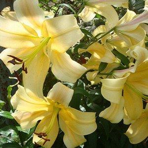 Орания ОТ-Гибрид  Луковицы Лилии ОТ-гибрид Орания (Lilium OT-hybrid Orania) для создания пышной нежности и неповторимости садовых клумб. Очень крупные цветы до 23 см в диаметре отличаются чистым абрик
