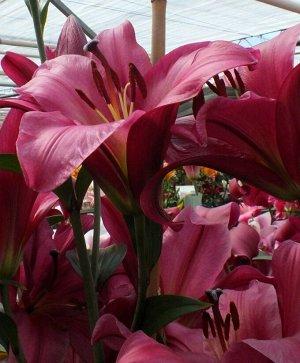 Пёпл Принц ОТ-Гибрид  Луковицы лилии ОТ-гибрида Пёпл Принц (Purple Prince) пользуются популярностью у садоводов благодаря глубокому благородному оттенку окраски цветка и долгому цветению. Диаметр воро