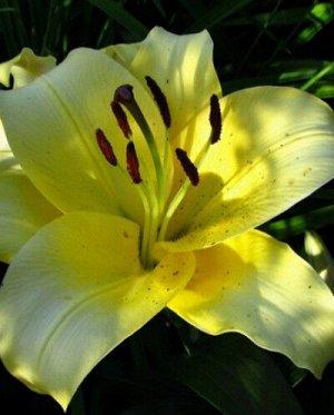 Понтиак ОТ-Гибрид  Саженцы и рассада лилии от-гибрид Понтиак (Lilium OT-hybrid Pontiak) эффектно смотрятся в групповых посадках и ландшафтных композициях. Растение высотой 100-120 см цветет в июле-авг