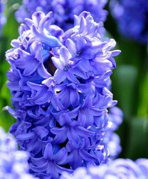 Блу Стар ГИАЦИНТЫ Садовые: Луковицы гиацинта садового Блу Стар полностью оправдывают название сорта, которое переводится как «Голубая звезда». Расцветает гиацинт в апреле яркими пышными соцветиями при