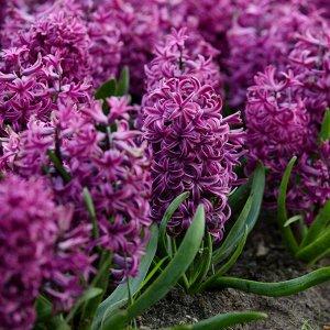 Пёпл Стар ГИАЦИНТЫ Садовые: Пёпл Стар - высота растения 25 см. Цветок жемчужный розово-голубой. Гиацинт - безусловный лидер среди растений, пригодных для выгонки. Его плотные, с сильным ароматом соцве