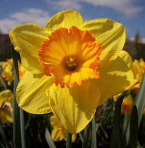 """Делибес Делибес - высота растения 40 см, цветок желтый с оранжевой коронкой. Месторасположение: нарциссы - культура более теневыносливая по сравнению, например, с тюльпанами, но на освещенных местах """""""