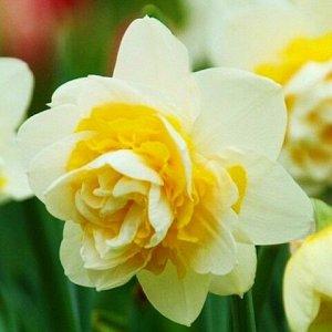 Юник Юник - высота растения 40 см, цветок белый с лимонной гофрированной коронкой. Махровые нарциссы – сорта этой группы выделяются махровыми цветками от одного до нескольких на цветоносе. Это самая п