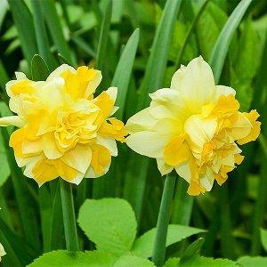 Фэшн Парад Фэшн Парад - высота растения 45 см. Цветок кремово-желтый с ярко-желтой коронкой. Махровые нарциссы – сорта этой группы выделяются махровыми цветками от одного до нескольких на цветоносе. Э