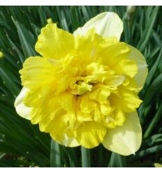 Фулл Хаус Фулл Хаус - высота растения 45 см, цветок желтый, густо-махровый. Махровые нарциссы – сорта этой группы выделяются махровыми цветками от одного до нескольких на цветоносе. Это самая популярн