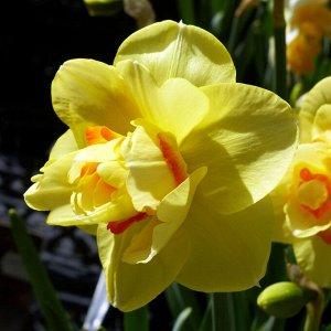 Техас Техас - высота растения 45 см, цветок желтый с оранжевым центром. Махровые нарциссы – сорта этой группы выделяются махровыми цветками от одного до нескольких на цветоносе. Это самая популярная г