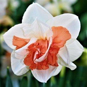 Реплит Реплит - высота растения 35-40 см, цветок белый с ярко-красной коронкой. Махровые нарциссы – сорта этой группы выделяются махровыми цветками от одного до нескольких на цветоносе. Это самая попу