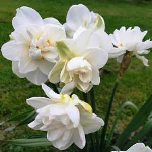 Обдэм Обдэм - высота растения 45 см, цветок белый. Махровые нарциссы – сорта этой группы выделяются махровыми цветками от одного до нескольких на цветоносе. Это самая популярная группа в любительском