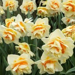 Мэнли Мэнли - высота растения 40 см, цветок лимонно-желтый с оранжевым центром. Махровые нарциссы – сорта этой группы выделяются махровыми цветками от одного до нескольких на цветоносе. Это самая попу