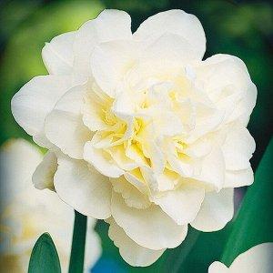 Калгари Калгари - высота растения 40 см, цветок белый с зеленоватым оттенком, ароматный. Махровые нарциссы – сорта этой группы выделяются махровыми цветками от одного до нескольких на цветоносе. Это с