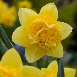 Дик Вилден Дик Вилден - высота растения 40 см, цветок желто-оранжевый. Махровые нарциссы – сорта этой группы выделяются махровыми цветками от одного до нескольких на цветоносе. Это самая популярная гр