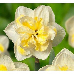 Дабл Фан Дабл Фан - белый с желтой коронкой и тонкой гофрированной окантовкой, высота растения 35 см Махровые нарциссы – сорта этой группы выделяются махровыми цветками от одного до нескольких на цвет