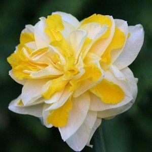 """Грейт Лип Месторасположение: нарциссы - культура более теневыносливая по сравнению, например, с тюльпанами, но на освещенных местах """"урожай"""" их цветков и луковиц значительно выше, чем в тени. Почва: м"""
