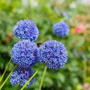 Голубой Период цветения: VI Лук декоративный - многие виды лука просты в культуре, очень красиво цветут и эффектны внешне. Они издавна используются для украшения садов, парков, приусадебных участков.