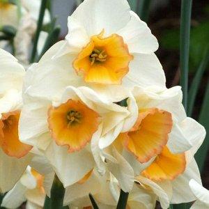 Язз Жонкиллиевидный Нарциссы - многолетние луковичные растения. Очень широко применяются в садовом дизайне благодаря огромному разнообразию видов, гибридов и форм. Цветки крупные, одиночные или в кист