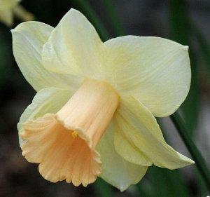 Лорикит Трубчатые Трубчатые нарциссы - для сортов этой группы характерно наличие одного цветка на прочном средней высоты или высоком цветоносе. Основной признак: трубка равна или длиннее доли околоцве