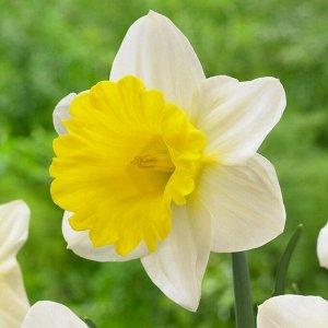 Гоблет Трубчатые Трубчатые нарциссы - для сортов этой группы характерно наличие одного цветка на прочном средней высоты или высоком цветоносе. Основной признак: трубка равна или длиннее доли околоцвет
