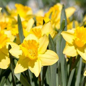 Аркл Трубчатые Трубчатые нарциссы - для сортов этой группы характерно наличие одного цветка на прочном средней высоты или высоком цветоносе. Основной признак: трубка равна или длиннее доли околоцветни