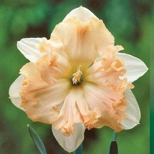 Вальс  * Вальс - высота растения 35 см, цветок белый с нежно-розовой коронкой, волнистой по краю. Нарциссы с расщепленной коронкой - эта совсем молодая группа объединяет сорта с оригинальным строением