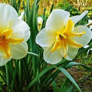 Донау Парк Донау Парк - высота растения 35 см, необычный сорт, крупный, кремово-белый, коронка желтая с белыми полосками, лепестки свернуты, что придает ей форму звезды. Нарциссы с расщепленной коронк