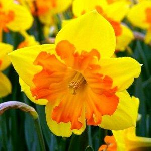 Конгресс Конгресс - высота растения 40 см, цветок темно-желтый с крупной оранжевой коронкой. Нарциссы с расщепленной коронкой - эта совсем молодая группа объединяет сорта с оригинальным строением цвет