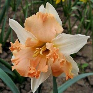 Кум Лауде Кум Лауде - высота растения 40 см, цветок белый с нежно-розовой коронкой, ярко-оранжевой по краю, гофрированной. Нарциссы с расщепленной коронкой - эта совсем молодая группа объединяет сорта