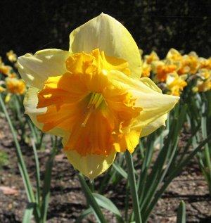 Мондрагон Мондрагон - высота растения 40 см, цветок желтый с темно-оренжевой крупной коронкой. Нарциссы с расщепленной коронкой - эта совсем молодая группа объединяет сорта с оригинальным строением цв