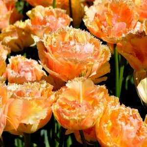 Эсприт Луковицы тюльпана бахромчатого Эсприт способны стать главными «героями» весеннего сада. Их цветки, одновременно нежные и экстравагантные, романтичные и воздушные, не оставят равнодушным никого.