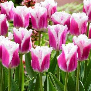 Сиеста Бахромчатые тюльпаны - отличительная особенность этих тюльпанов - игольчатая бахрома по краям лепестков, напоминающая иней. Высота тюльпанов может варьироваться от 50 до 80см. Окраска цветков в