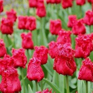 Мустанг Бахромчатые тюльпаны - отличительная особенность этих тюльпанов - игольчатая бахрома по краям лепестков, напоминающая иней. Высота тюльпанов может варьироваться от 50 до 80см. Окраска цветков
