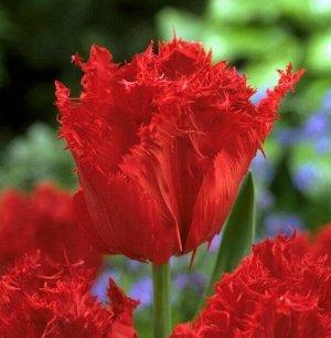 Мазда Бахромчатые тюльпаны - отличительная особенность этих тюльпанов - игольчатая бахрома по краям лепестков, напоминающая иней. Высота тюльпанов может варьироваться от 50 до 80см. Окраска цветков вс