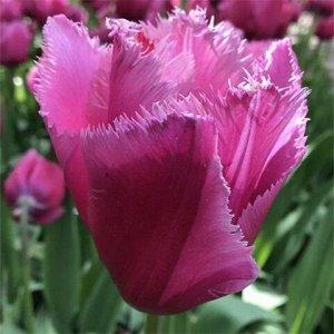 Лувр Бахромчатые тюльпаны - отличительная особенность этих тюльпанов - игольчатая бахрома по краям лепестков, напоминающая иней. Высота тюльпанов может варьироваться от 50 до 80см. Окраска цветков вст