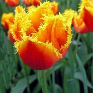 Канари Бахромчатые тюльпаны - отличительная особенность этих тюльпанов - игольчатая бахрома по краям лепестков, напоминающая иней. Высота тюльпанов может варьироваться от 50 до 80см. Окраска цветков в