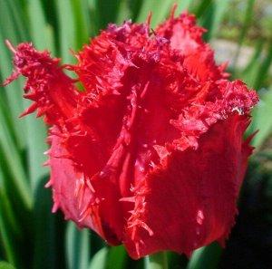 Арма Бахромчатые тюльпаны - отличительная особенность этих тюльпанов - игольчатая бахрома по краям лепестков, напоминающая иней. Высота тюльпанов может варьироваться от 50 до 80см. Окраска цветков вст