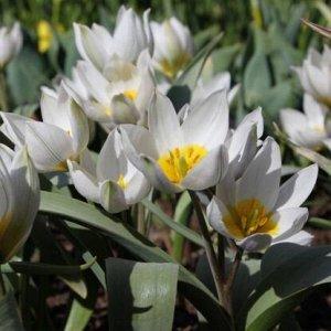 Полихрома Ботанический Ботанические тюльпаны - воплощение природной естесственной красоты. Это один из 15 классов тюльпанов, в котором обьеденены все дикорастущие разновидности разных форм и окрасок.