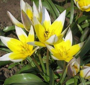 Поздний Ботанический Ботанические тюльпаны - воплощение природной естесственной красоты. Это один из 15 классов тюльпанов, в котором обьеденены все дикорастущие разновидности разных форм и окрасок. Вс