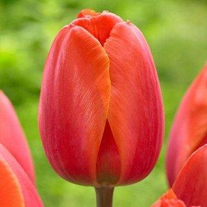 Ад Рем Луковицы тюльпана Дарвинов гибрид Ад Рем при посадке осенью зацветут уже ближайшей весной. Сортовая серия поражает огромными бутонами, достигающими 10 сантиметров. Сорт имеет длинный крепкий цв