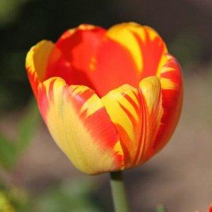 Баня-Лука Луковицы тюльпана Дарвинов гибрид Банья-Лука весной порадуют своими высокими цветоносами, которые могут вырастать до 80 сантиметров, и ярким продолжительным цветением. Бокаловидные бутоны пр