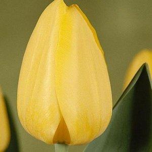 Гарант Луковицы тюльпана Дарвинов гибрид Гарант по сравнению с другими тюльпанами этой серии вырастут относительно невысокими: основной стебель не превышает 50 сантиметров. Зато на нем появляется неве