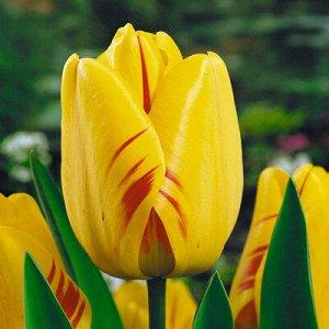Ханс Мейер Дарвиновы гибриды - растения этого класса отличаются очень крупными размерами: в высоту они достигают 60- 80 см, а диаметр цветков некоторых сортов может превышать 10 см. Тюльпаны этого кла