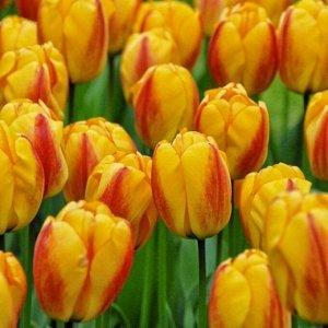 Оксфорд Дарвиновы гибриды - растения этого класса отличаются очень крупными размерами: в высоту они достигают 60- 80 см, а диаметр цветков некоторых сортов может превышать 10 см. Тюльпаны этого класса