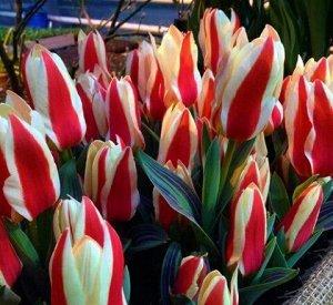 Зомби Фостера Тюльпаны Фостера - в этот класс включены сорта и гибриды тюльпана Фостера с другими видами и сортами других классов. Тюльпаны Фостера имеют более крупные цветки, по сравнению с тюльпанам