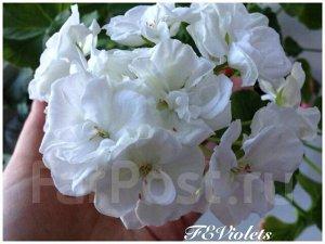 Черенок пеларгонии Edwards Pearl