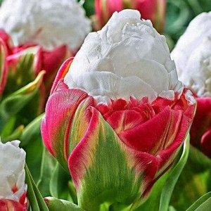 Айс Крим * Среди цветов особого внимания заслуживает тюльпан ice cream, который похож на мороженное в вафельном стаканчике. Этот махровый цветок имеет розово-белый окрас и по виду напоминает пион. Его