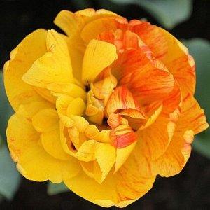 Сан  Лавер Любимчик солнца и ваш будущий фаворит То, что этот цветок обожаем самим солнцем, не вызовет у вас ни малейших сомнений. Только взгляните на его насыщенно-желтые пионовидные соцветия, внимат