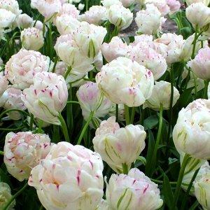 Данслайн * Махровые поздние тюльпаны - имеют густомахровые цветы, внешне напоминающие цветы пионов, поэтому их часто называют пионовидными. Махровые поздние тюльпаны имеют крепкие цветоносы высотой 45