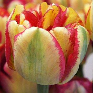 Сандаунер Махровые поздние тюльпаны - имеют густомахровые цветы, внешне напоминающие цветы пионов, поэтому их часто называют пионовидными. Махровые поздние тюльпаны имеют крепкие цветоносы высотой 45-